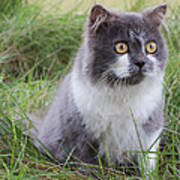 Persian Cat Sit In Green Yard Poster by Nawarat Namphon