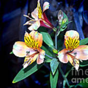 Peruvian Lily In My Garden Poster