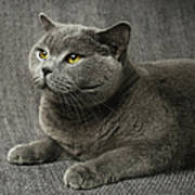 Pet Portrait Of British Shorthair Cat Poster by Nancy Branston