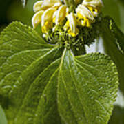 Phlomis Russeliana Poster by Dr Keith Wheeler