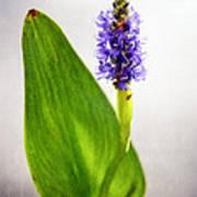Pickerel Blue Pontederia Cordata Poster