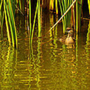 Pied-billed Grebe Near The Reeds Poster