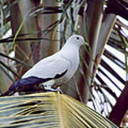 Pied Imperial Pigeon Poster
