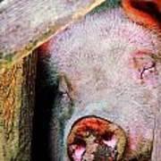 Pig Sleeping Poster