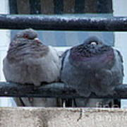 Pigeons Perching Poster