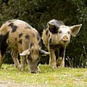 Piglets Foraging In Woodland Poster by Bob Gibbons
