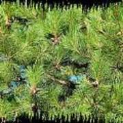 Pine Cones And Needles Poster