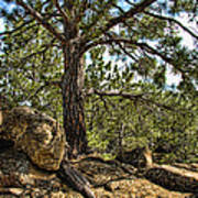Pine Tree And Rocks Poster