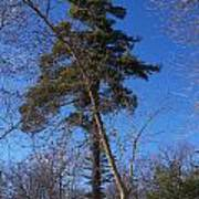 Pine Tree Standing Tall Poster