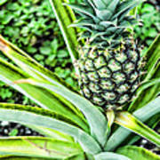 Pineapple Plant Poster by Frank Feliciano