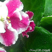 Pink African Violets And Leaves Poster