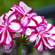 Pink And White Geraniums Poster