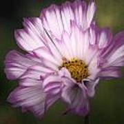 Pink And White Ruffled Cosmos Poster