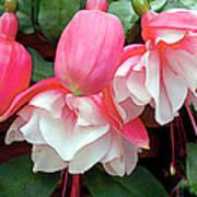 Pink And White Ruffled Fuschias Poster