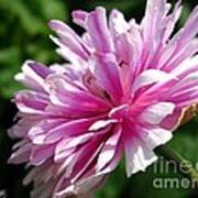 Pink Anemone From The St Brigid Mix Poster