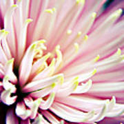 Pink Chrysanthemum Poster
