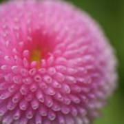 Pink Daisy Flower Poster by Myu-myu