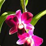 Pink Dendrobiums Poster