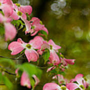 Pink Dogwood Blooms Poster