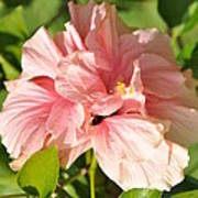 Pink Double Hibiscus Poster