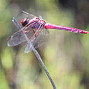 Pink Dragonfly In The Marsh Poster