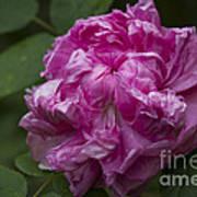 Pink English Rose Poster
