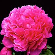 Pink Flower After Rain Poster
