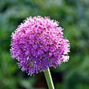 Pink Flower Ball Poster