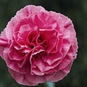 Pink Flower (dianthus 'clare') Poster