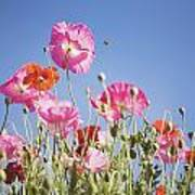 Pink Flowers Against Blue Sky Poster