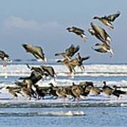 Pink-footed Geese On An Ice Floe Poster