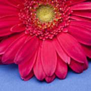 Pink Gerbera Daisy On Blue Background Poster