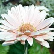 Pink Gerbera Flower Poster