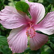 Pink Hibiscus Poster by Gregory Young