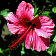 Pink Hibiscus2 Poster