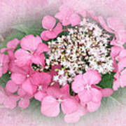 Pink Lace Cap Hydrangea Flowers Poster