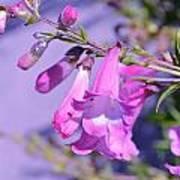 pink Penstemon  Poster