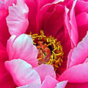 Pink Peony Close Up Poster