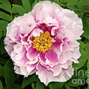 Pink Peony Flowers Series 1 Poster
