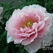 Pink Peony Flowers Series 2 Poster
