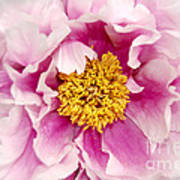 Pink Peony Flowers Series 3 Poster