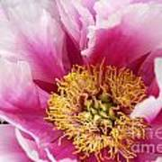 Pink Peony Flowers Series 8 Poster