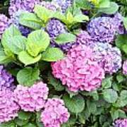 Pink Purple Hydrangeas Poster