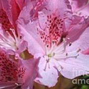 Pink  Rhodedendron Poster