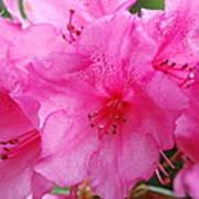 Pink Rhody Poster