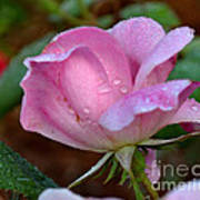 Pink Rose With Water Drops-33 Poster