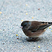 Pink-sided Junco Poster