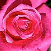Pink Sunrise Rose Poster