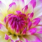 Pink Tinged Dahlia Poster