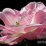 Pink Tulip Isolated Poster